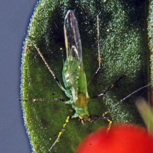 Natural pest control - An aphid attacker