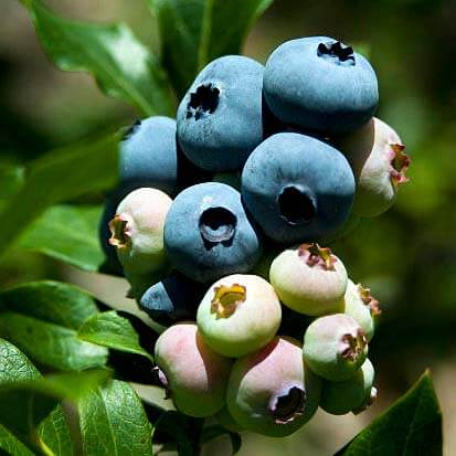 Soft fruits - Blueberry