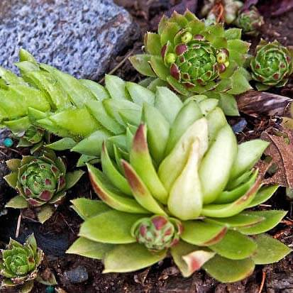 Rock Garden Plants - Sempervivums