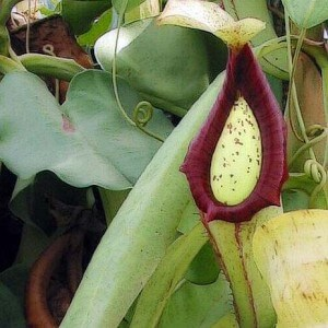 Looking after a Pitcher plant