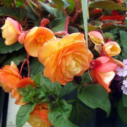 Hanging basket combinations