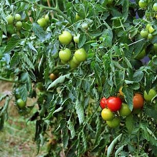 Prevent tomato blight