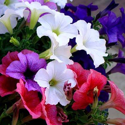 Colourful flowers - Petunias