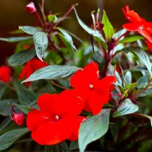 Hanging baskets for shaded areas - Impatiens