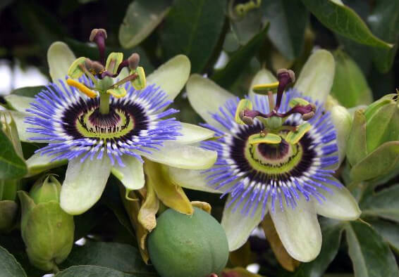 Looking after Passion flower - Passiflora