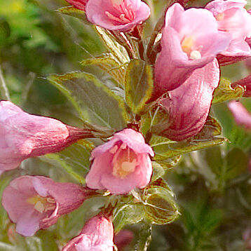 Variegated weigela