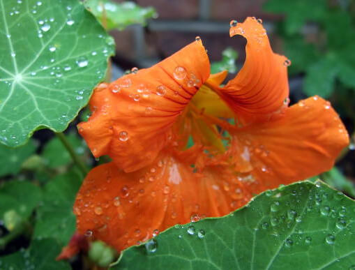 Nasturtiums - hanging baskets