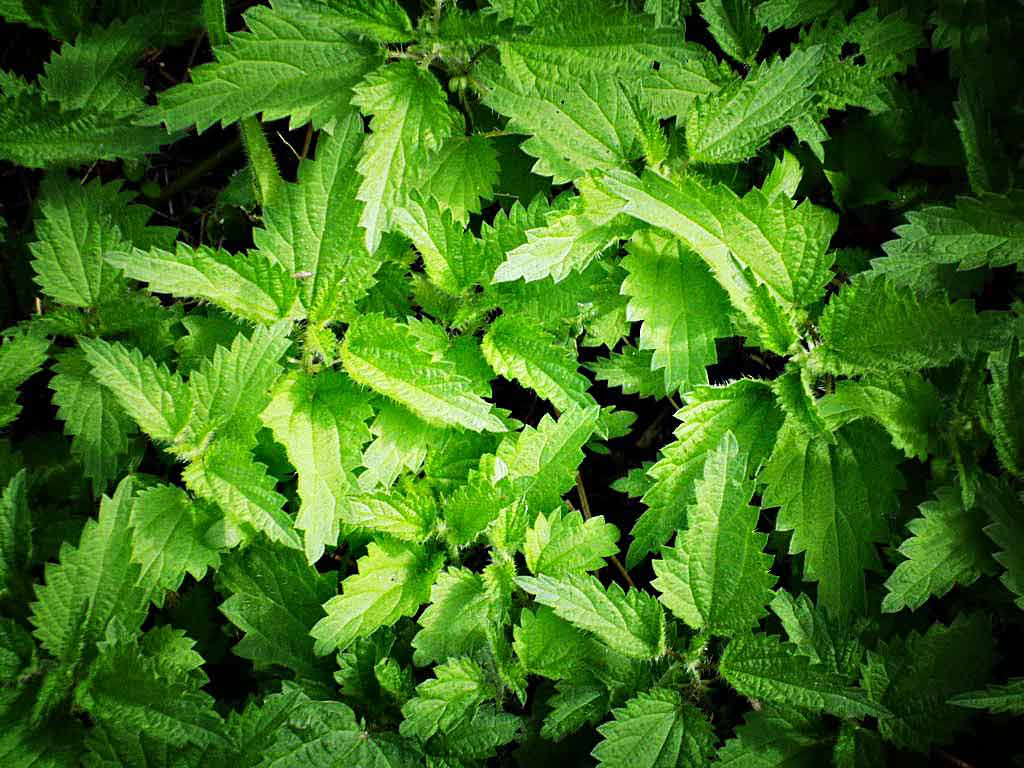 Nettle feed fertiliser