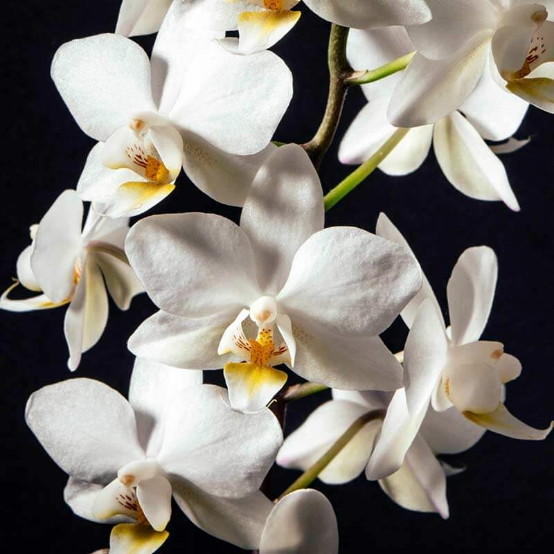 5 steps how to take care of orchids phalaenopsis for Orchidea phalaenopsis cura