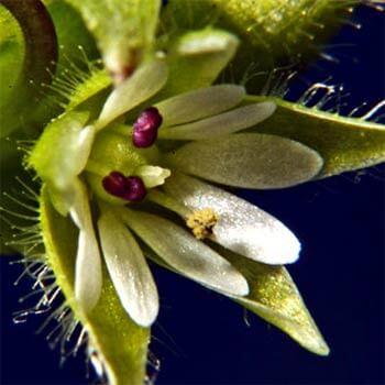 Edible weeds - Chickweed