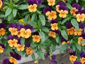 Violas - winter hanging basket plants