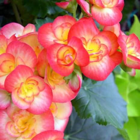 Overwintering Begonias
