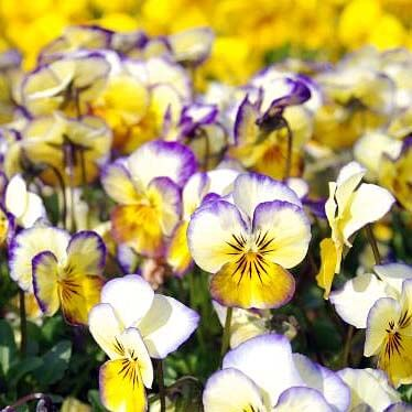 Long flowering - Violas