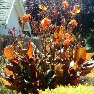 Growing Canna – what do you need to know?