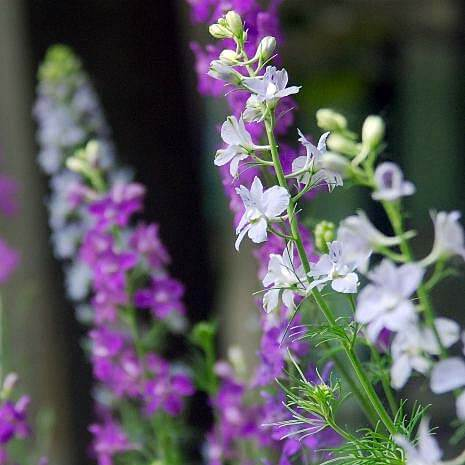 Blues - Flower Garden - Larkspur