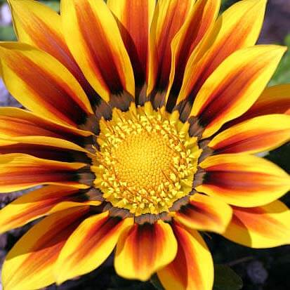 Fiery garden flowers - Gazania