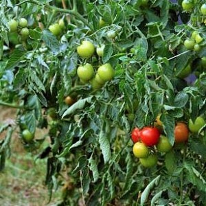 Tomato blight – How to prevent