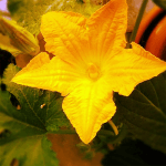 Virus resistant courgette seeds
