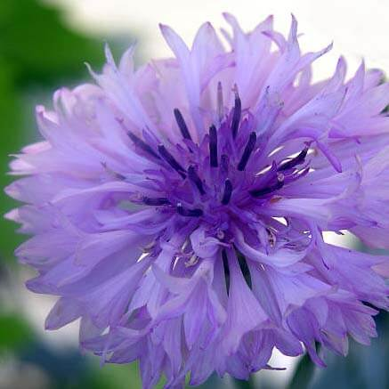 Easy to grow flowers - Cornflower