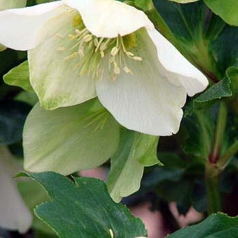 Growing Helleborus from seed