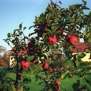 How to properly prune fruit trees