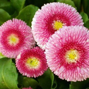 Flowers to sow in July - Bellis