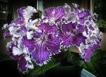 Growing Streptocarpus plants (Cape Primrose)
