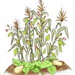 Three sisters vegetable gardening