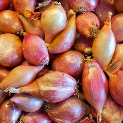 Autumn onion sets