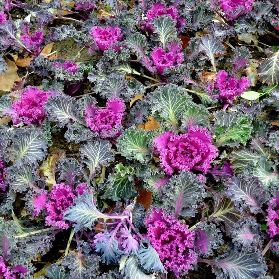 Ornamental Winter Kale