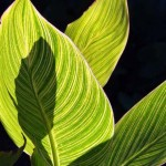 Growing Canna Lilies from seed