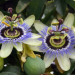 Looking after your Passion Flower