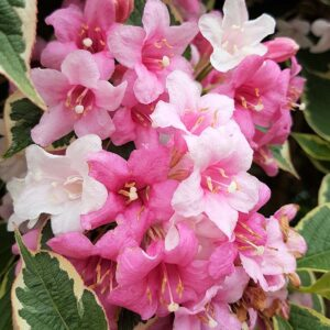 When to prune Weigela for more flowers