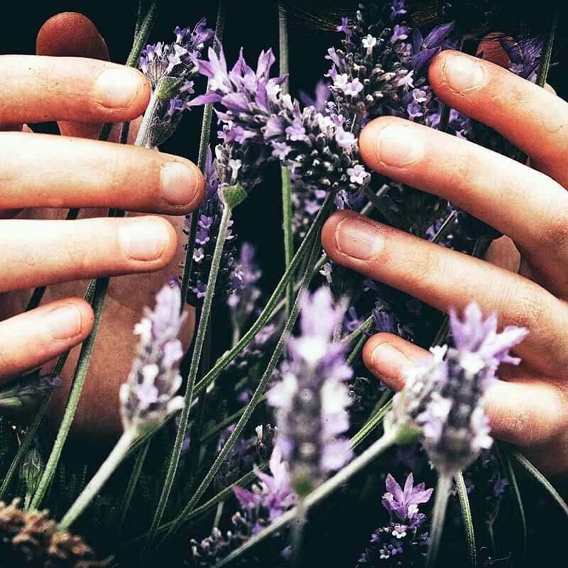 Lavender: scented garden flowers