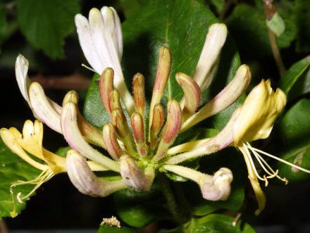 Scented Evergreen Climbers