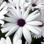 Osteospermum – Hardy coastal garden favourite