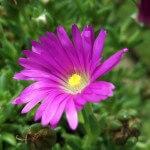 Delosperma - my favourite succulent