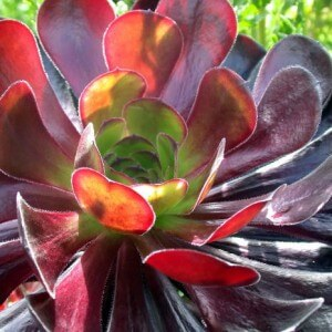 Succulents – Getting the most out of a dry garden