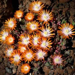 Delosperma – the perfect resident for that dry sunny spot