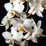 Orchids (Phalaenopsis): Care 5 Step Guide