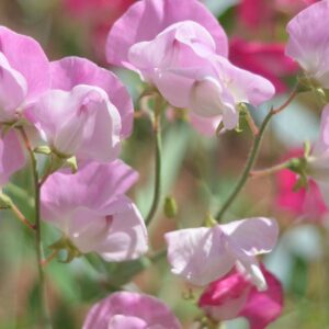 Read more about the article Growing Sweet Peas | A guide to sowing, growing, feeding & training