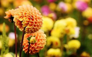 Read more about the article Dahlias – How to overwinter within the UK