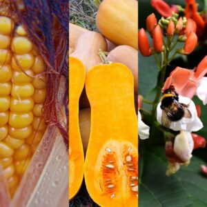 Read more about the article Three sisters vegetable gardening